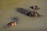 Hippos bathing in river, Masai Mara, Kenya