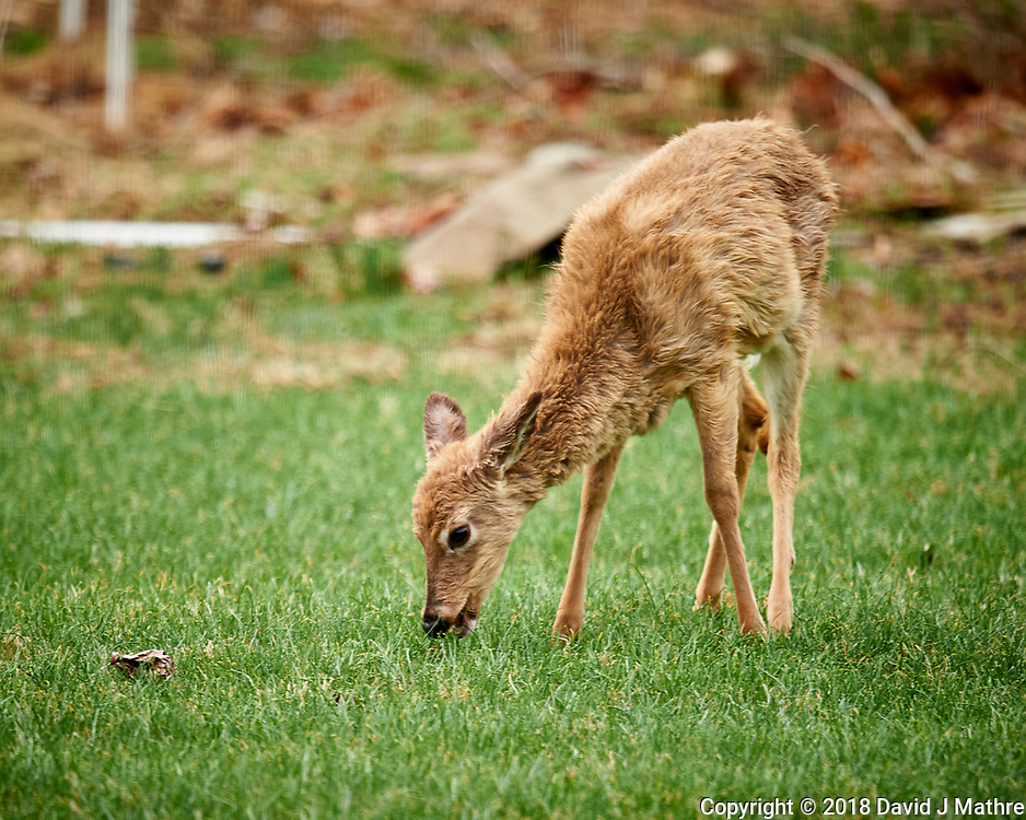 Scrubby, Scruffy Yearling Deer. Image taken with a Nikon D4 camera and 600 mm f/4 VR lens (ISO 400, 600 mm, f/4, 1/200 sec).