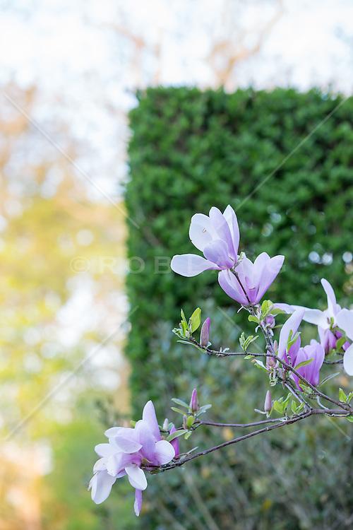 purple Dogwood flowers near a hedge in East Hampton, NY