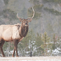 atypical rocky mountain elk young bulls feeding