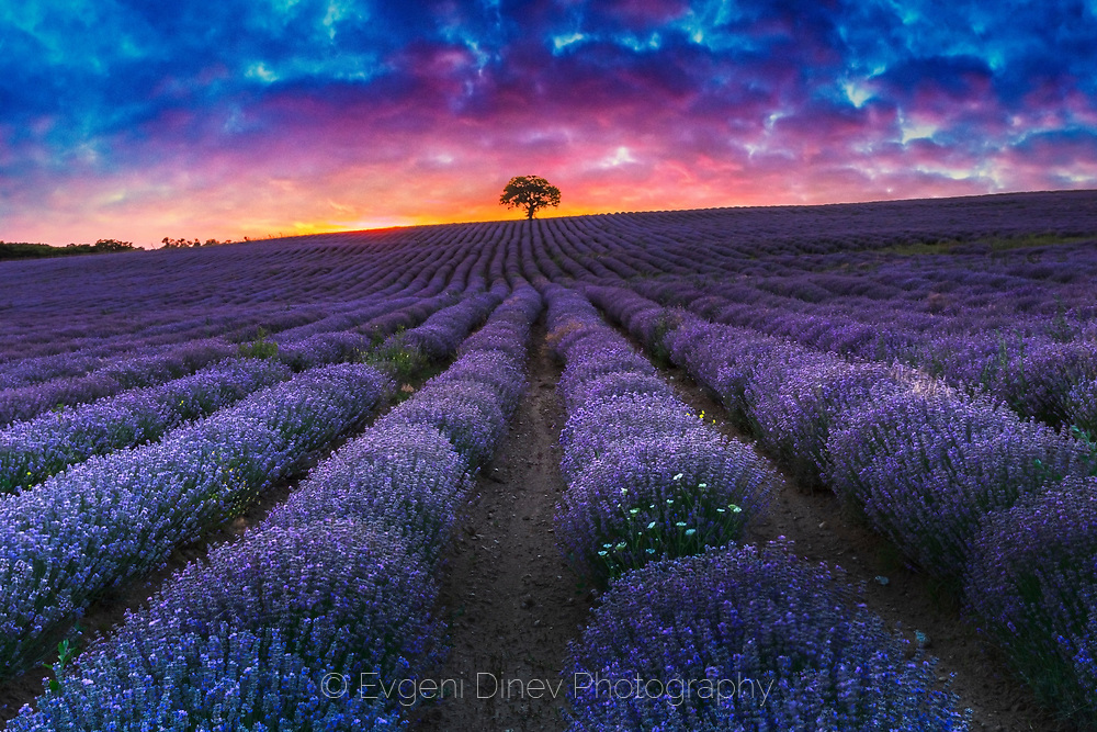 Superb lavender furrows ending on a lonely tree at sunset