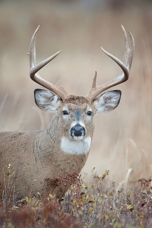 Whitetail Buck Portrait, Western Montana