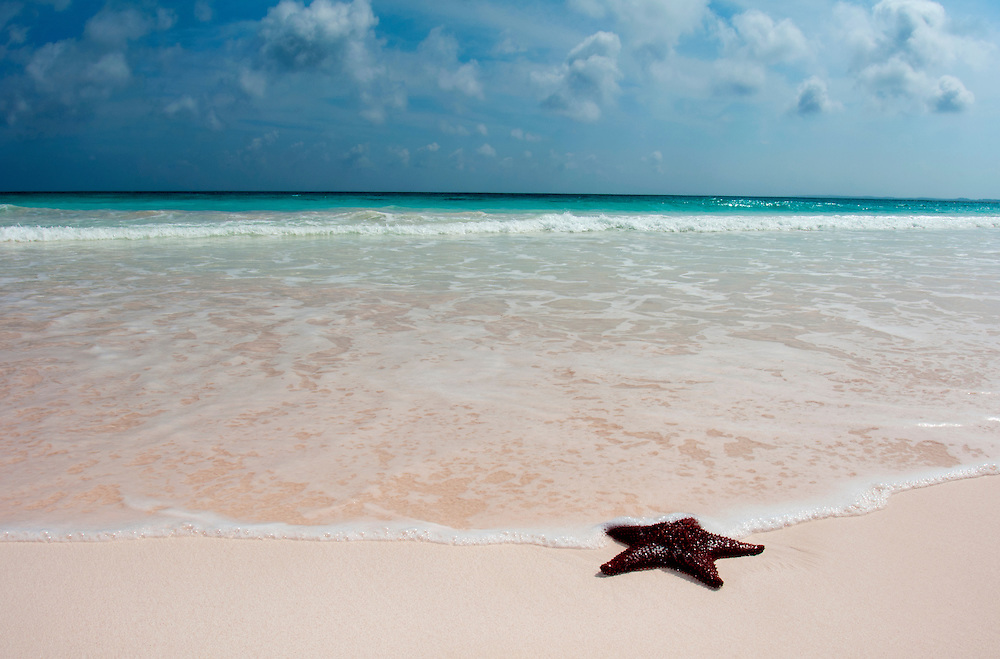 A sea star on the edge of the ocean. Cushion sea star on a pink sand beach in the Bahamas