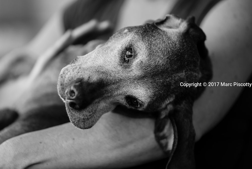 SHOT 2/21/17 2:33:18 PM - Tanner, a 12 year-old male Vizsla, cuddles with his mom Margaret Ebeling in Denver, Co. The Vizsla, is a dog breed originating in Hungary. The Hungarian or Magyar Vizsla represents one of the best in sporting dogs and loyal companions and has a strong claim to being one of the smallest of the all-round pointer-retriever breeds. The Vizsla's size is one of the breed's most attractive characteristics and through the centuries he has held a unique position for a sporting dog -- that of household companion and family dog. The Vizsla is a natural hunter endowed with a good nose and an above average trainability. Although they are lively, gentle mannered, demonstrably affectionate and sensitive, they are also fearless and possessed of a well-developed protective instinct.<br /> (Photo by Marc Piscotty / &copy; 2017)