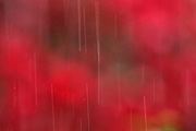 A long camera exposure captures heavy raindrops falling with a Japanese maple tree at the peak of its red fall color in the background.