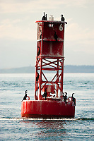 cormorants resting on a red bouy in Puget Sound, Washington, USA