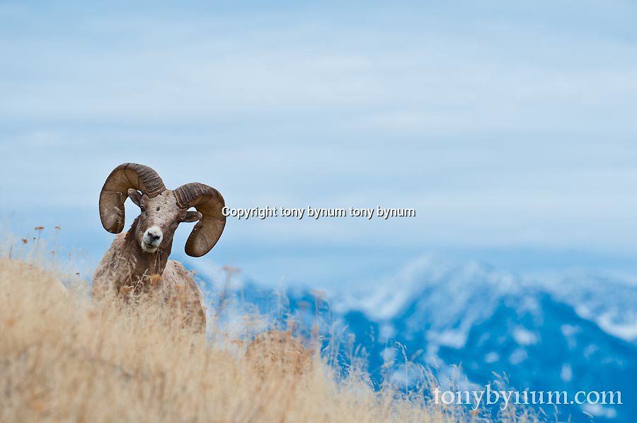 bighorn ram trophy, on ridge with moutain background wild rocky mountain big horn sheep