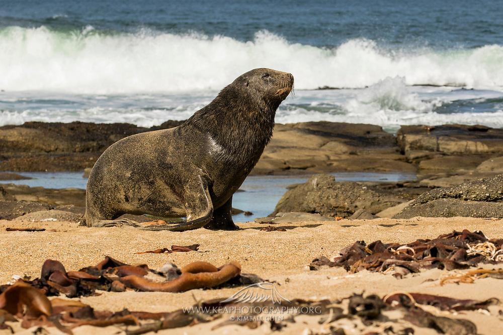 Hooker's Sea Lion, Waipapa Point, Catlins, New Zealand
