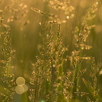 Dew-laden prairie grass at dawn