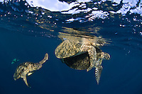 During mating the male green turtle grasps the female using claws on his front flippers.  Other males will attempt to displodge so the can mate with the female. The island of Sipadan is a mecca for divers and is famous for its schools of fish, healthy reefs and large populations of green and hawksbill turtles.