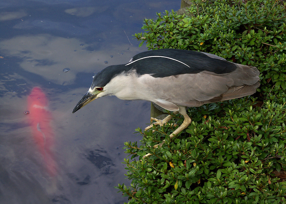 Night heron hunting fish in the Japanese Gardens.