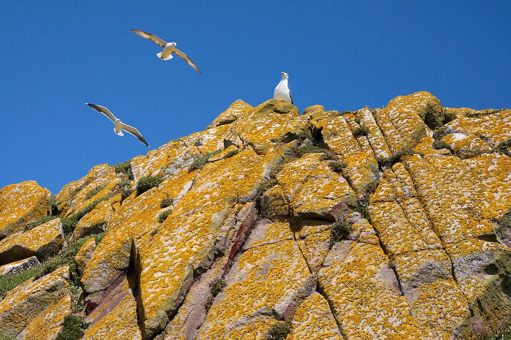 Greater black-backed gulls Larus maritimus,  and fulmar, Saltee Islands Ireland