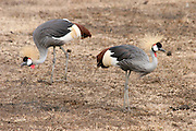 Kenya, Samburu National Reserve, Kenya, two Grey Crowned Cranes (Balearica regulorum)