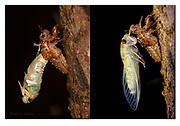 A large cicada moulting during night in the rainforest of Tanjung Puting National Park, Borneo. There are 64 minutes time difference between the two photos. Nikon D850, 105mm micronikkor, f10, 1/200sec, ISO500, 3xSB2000 macroflash