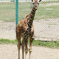 Calimaya, México.- El Zoológico de Zacango tiene como uno de sus nuevos habitantes a una jirafa reticulada, hasta el momento se han registrado 17 nacimientos de esta especie.  Agencia MVT / Crisanta Espinosa