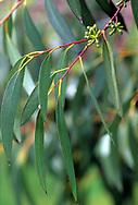 Eucalyptus pauciflora subsp pauciflora