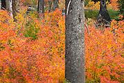 Vine Maples (Acer circinatum) blazing in red and orange near Santiam Pass Oregon