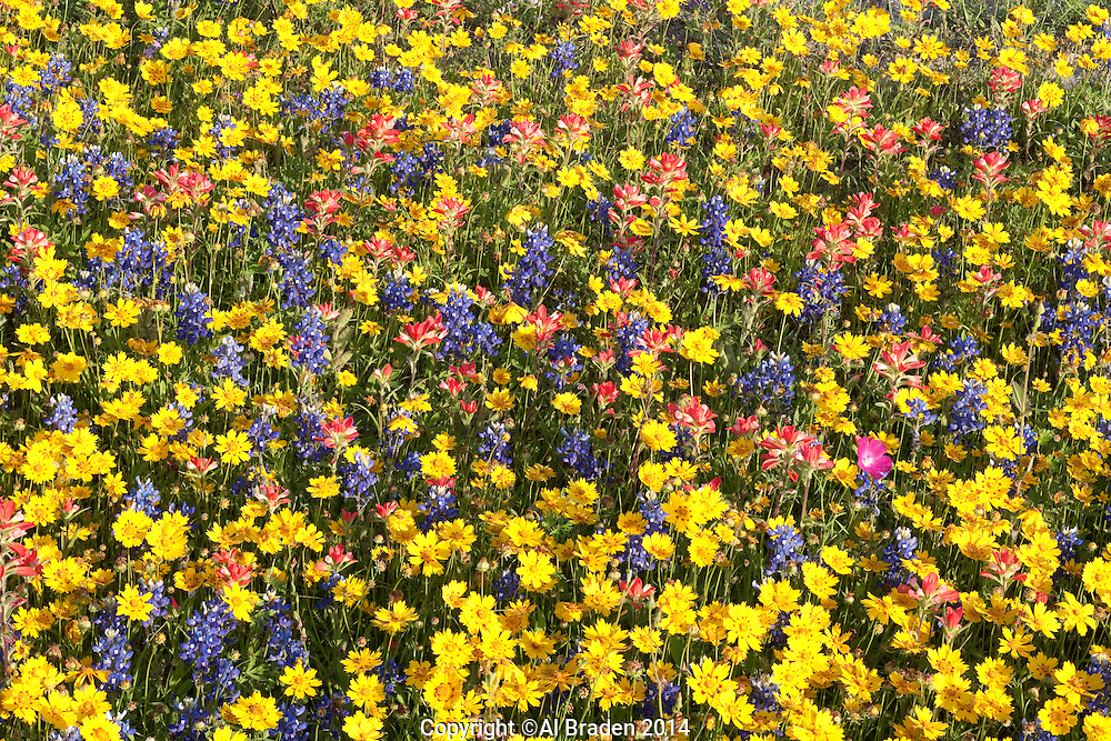 Coreopsis, Bluebonnets and Indian Paintbrush, Gonzales County