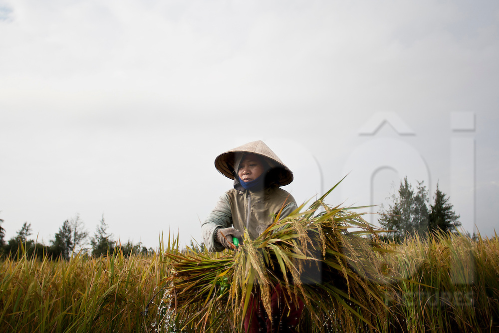 a woman is harvesting rice in a field by early morning. Village near Hoi An, central Vietnam, Asia