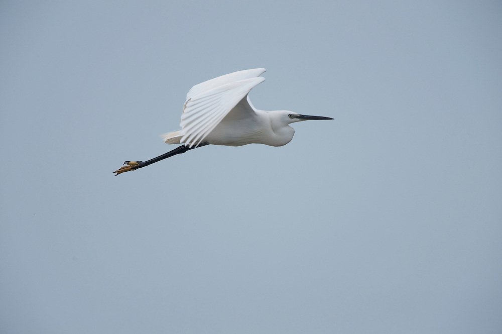 Little egret (Egretta garzetta) in lake in Moldova