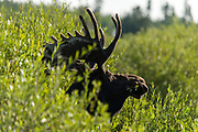 A bull moose makes a great subject during the photography workshop at the 100th anniversary of Colorado State University's Pingree Park Campus, August 10, 2014.