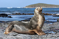 Southern or  South American Sea lion cow - Otaria flavescens