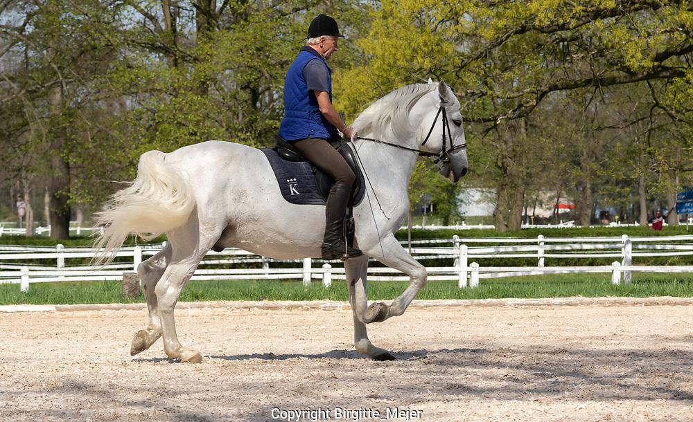 White Kladruber Stallion being ridden in the Paddock by a Trainer