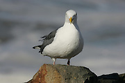 CALIFORNIA COAST - JANUARY 3:  2006 A seagull rests on a rock near Morro Bay during New Year's vacation driving along the California Coast on January 3, 2006 in Morro Bay, California. ©Paul Anthony Spinelli