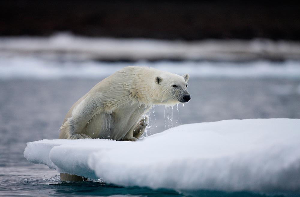 Norway, Svalbard, Polar Bear (Ursus maritimus) climbing onto iceberg after swimming near Half Moon Island on summer evening
