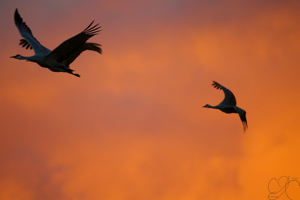 Some early morning fliers on the schedule: Sandhill cranes on the move. Either I watch too much Star Trek, or that one in the back looks pretty much like a Klingon Bird of Prey. Add a disruptor and a mean disposition and you're there!
