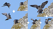Sequence showing peregrines (Falco peregrinus) mating. Surrey, UK.