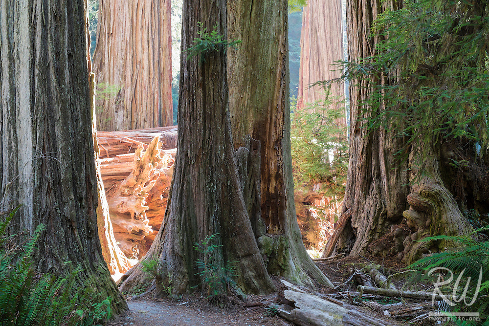 Old-Growth Redwoods Along Simpson-Reed Trail, Jedediah Smith Redwoods State Park, California