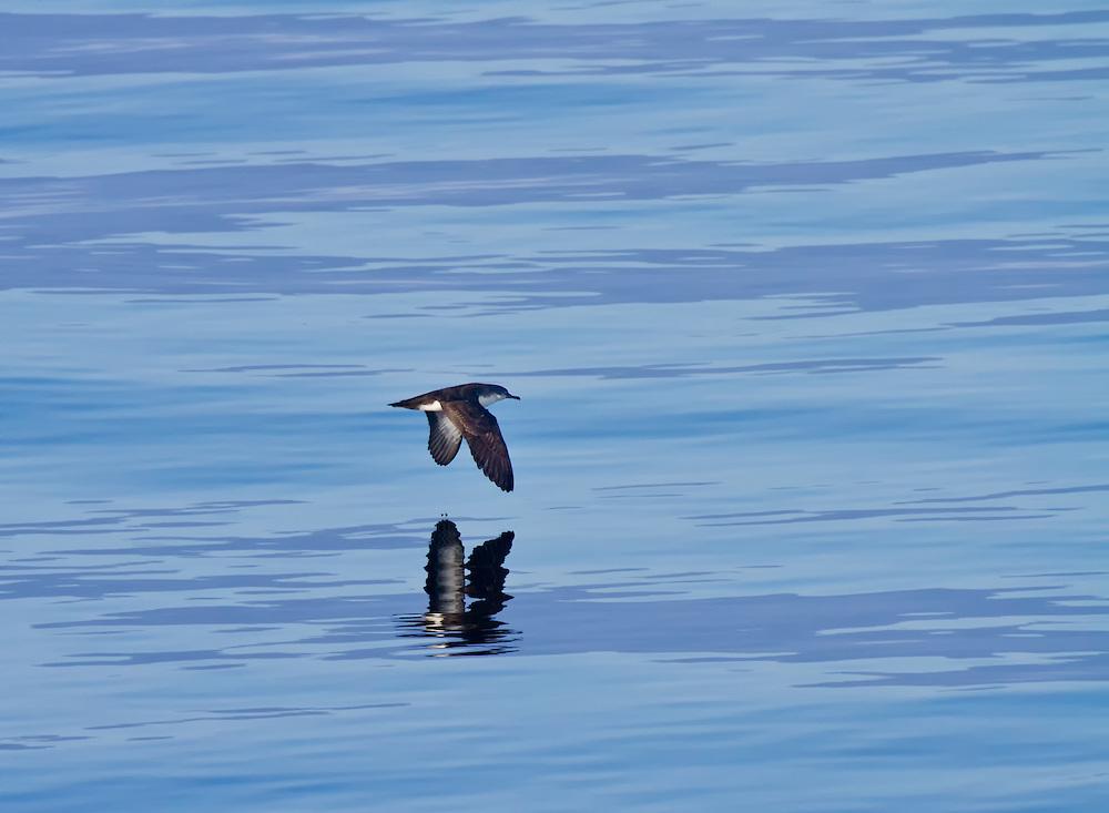 Great Shearwater (Puffinus gravis), Galápagos Islands; Ecuador; South America