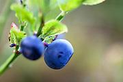 Blåbær , blåbær , vaccinium myrtillus. Billberries.