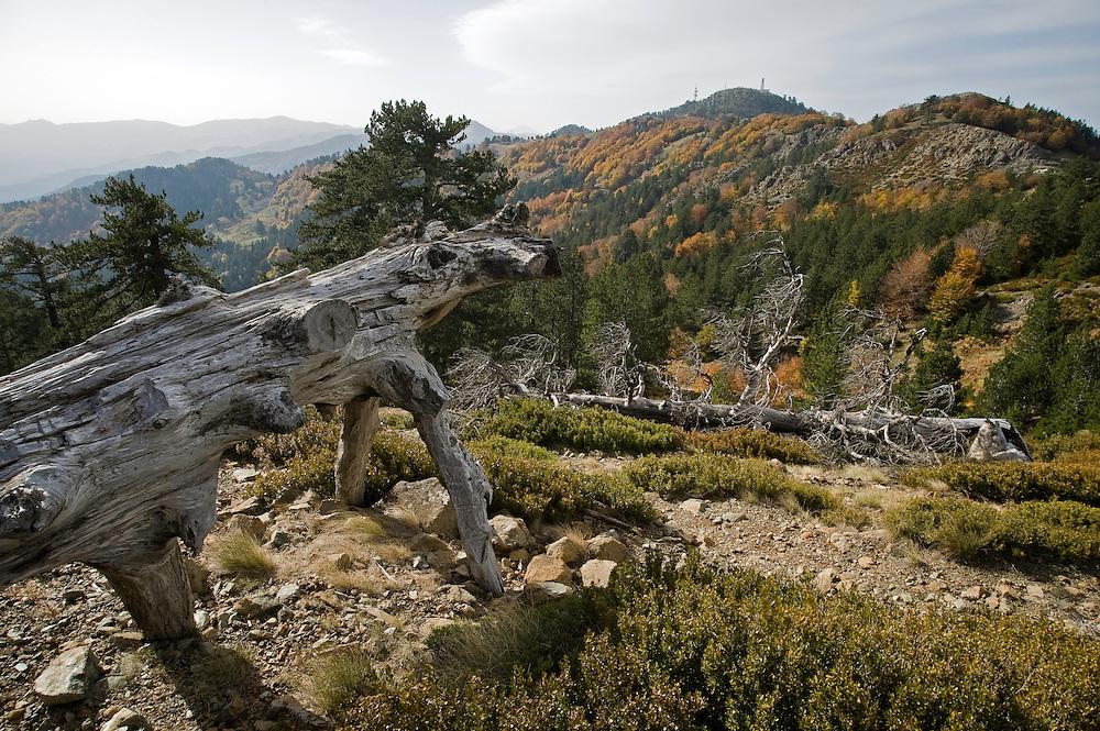 Greece, Pindos Mountains, Pindos NP, Valia Calda, old dry pine trees (Pinus thunbergii)  on top of the hill