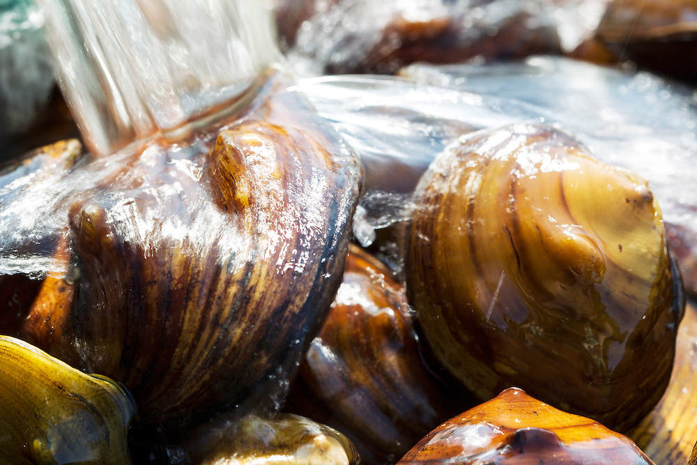 Collected mussels are kept cool and wet while counted, identified, and measured before they are returned to the Mississippi River August 14, 2015.