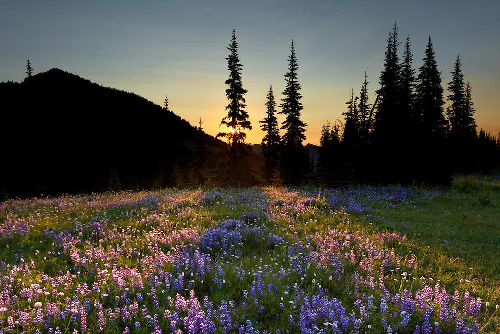 6:36 AM Backlit flowers on Sunrise Ridge.