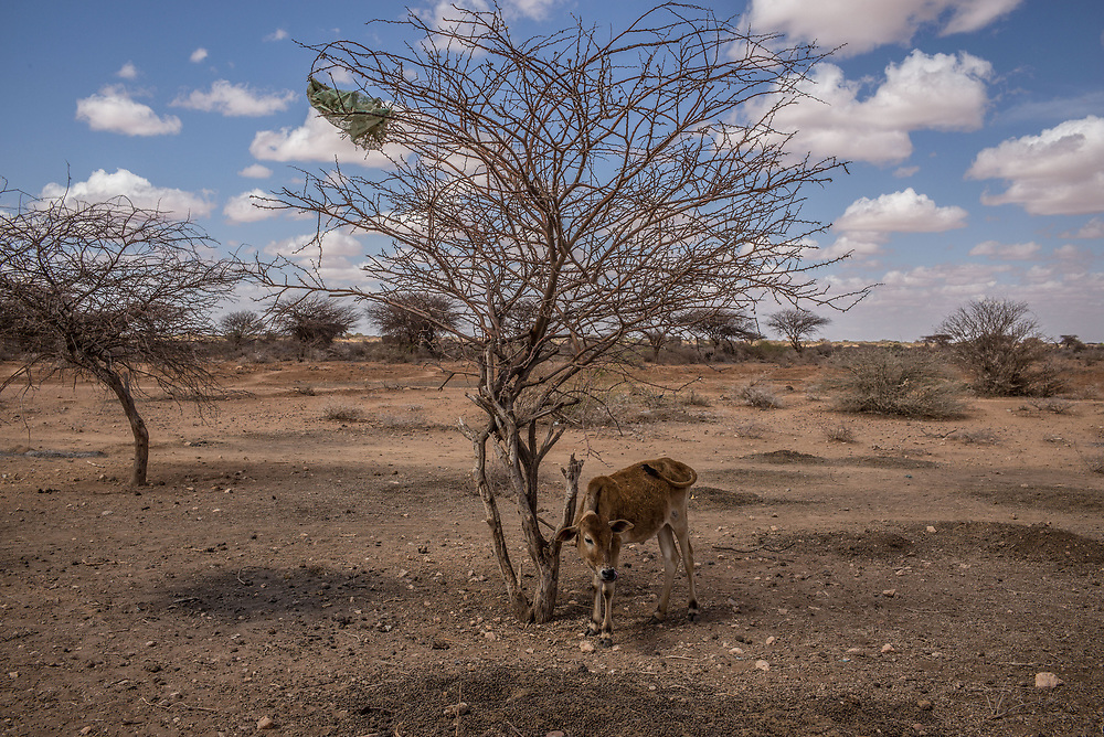 A lone calf stands tied to a tree outside the village of Beer, Somalia. Drought conditions have led to a scarcity of clean water in the region.