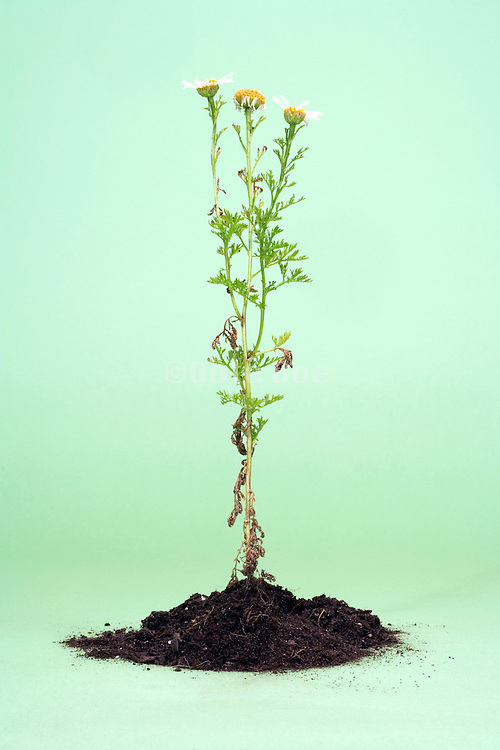 daisy flower plant and soil in studio setting on a green background