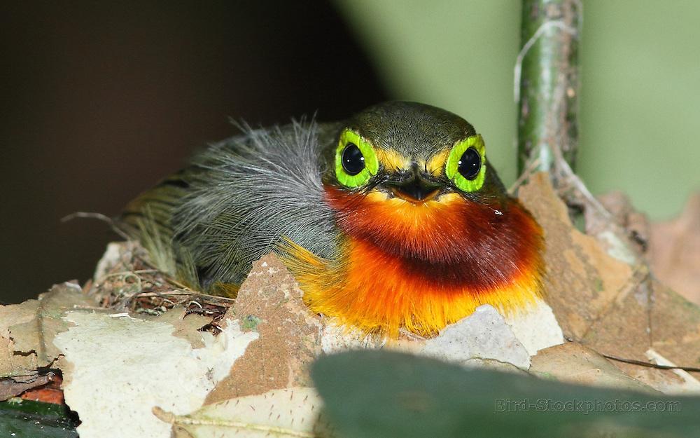 Yellow-bellied Wattle-eye, Platysteira concreta, Cameroon, by Markus Lilje