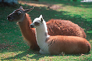 ECUADOR, HIGHLANDS, FAUNA young llama with mother