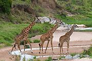 Masai Giraffe (Giraffa camelopardalis), Masai Mara National Reserve, Kenya.