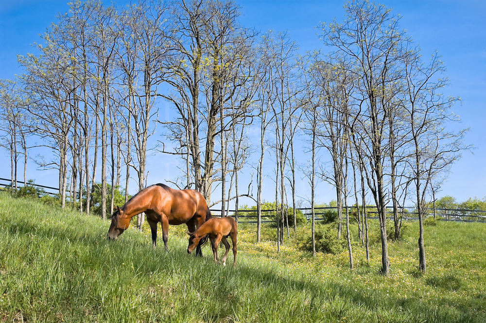 A quarter horse mare and her month old foal in the high grass of an early Spring buttercup field, framed by young ash and walnut trees against a clear blue sky.