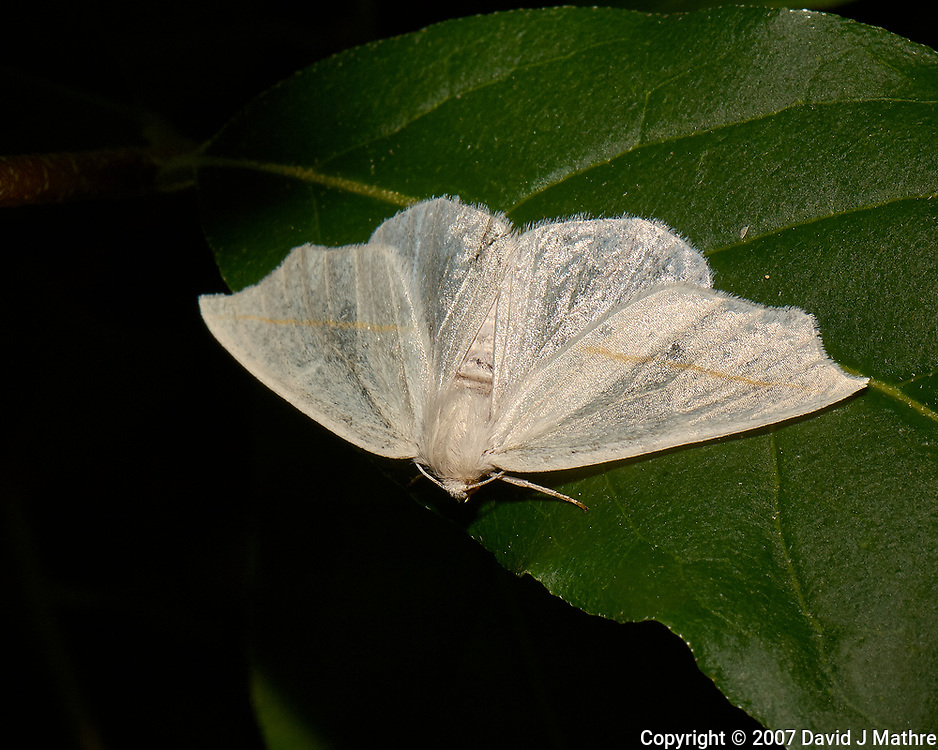 White moth. Late-spring backyard nature in New Jersey. Image taken with a Nikon D2xs camera and 105 mm f/2.8 VR macro lens and SB-800 flash (ISO 100, 105 mm, f/22, 1/60 sec)