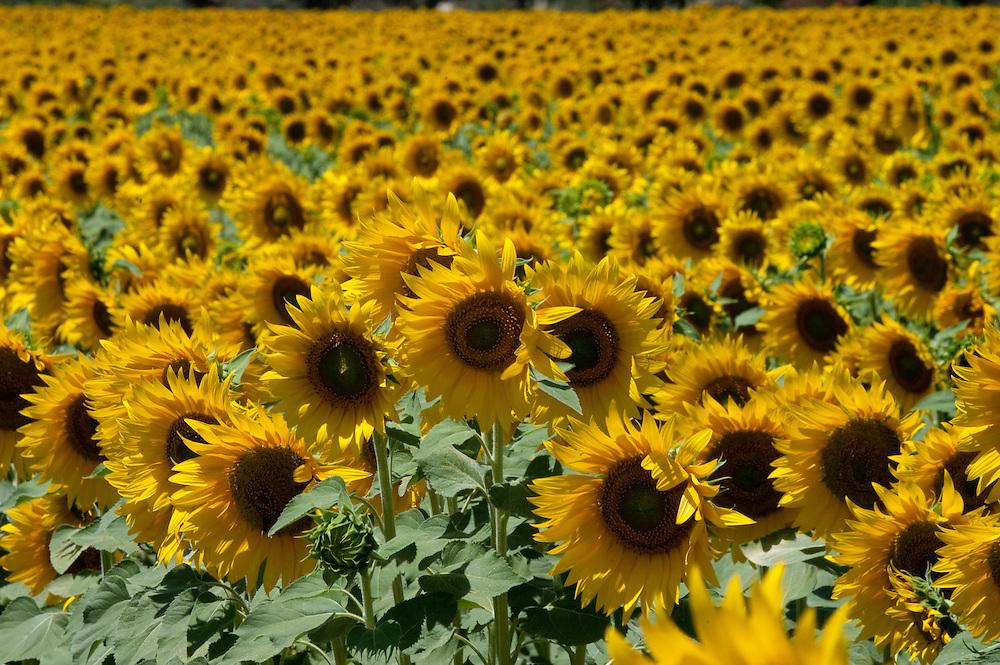 Sunflowers near Seville, Spain.