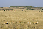 African Lion<br /> Panthera leo<br /> Mothers and cubs on the move<br /> Masai Mara Reserve, Kenya