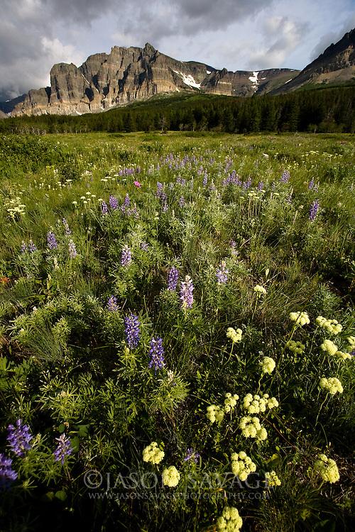 Wildflowers near Many Glacier. Glacier National Park, Montana.