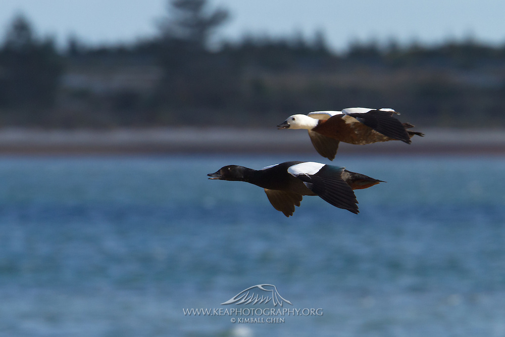 A male and female paradise shelduck fly over Awarua Bay