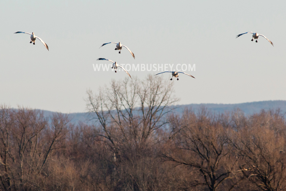 Wawayanda, New York - Snow geese come in for a landing in a farm field on March 22, 2015.