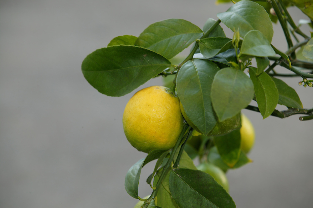 Lemons waiting to be picked, New Plymouth, New Zealand, August 26, 2005. Credit:SNPA / Rob Tucker